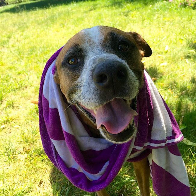Dog happy after taking bath. Wearing purple towel
