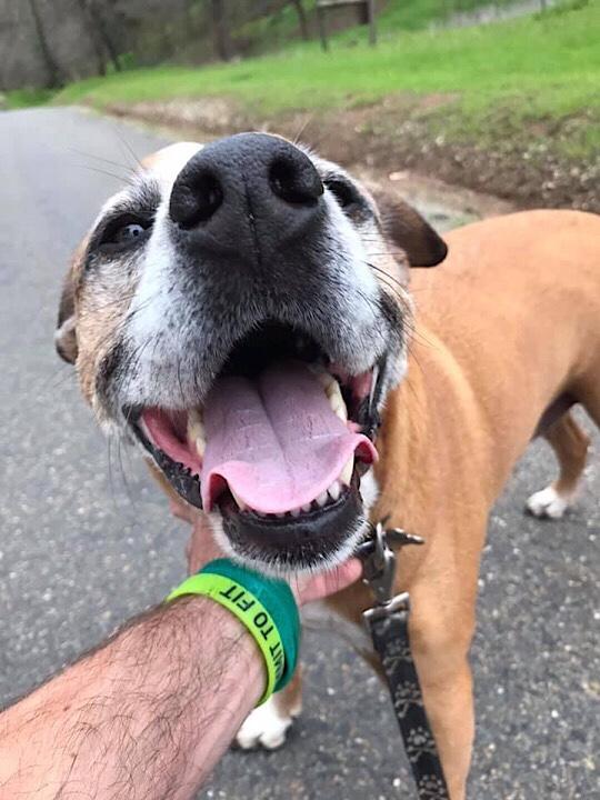 Happy smiling boxer Aussie cattle hound dog