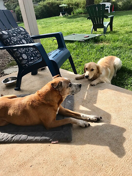 Golden retriever puppy wanting to play with a boxer Aussie cattle hound dog