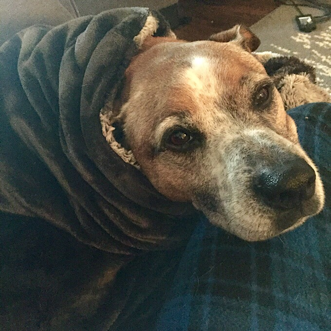 Sleepy dog wrapped up in blanket